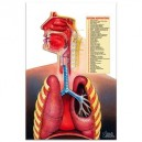 Poster do Sistema Respiratório